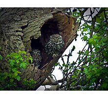Little Owls on the nest Photographic Print