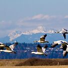 Snow Geese in March by Mike  Kinney