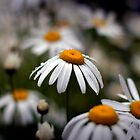 Daisies by Sam Warner