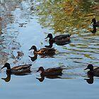 Ducks by Carol Smith