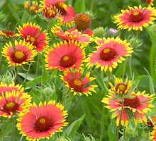 Morning Indian Blankets - Wildflowers by Navigator