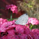 Butterfly on Flowers by ack1128