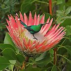 Decorating a protea by Explorations Africa Dan MacKenzie