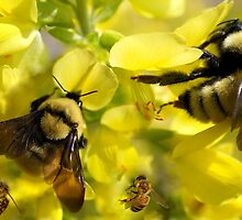 BUMBLE BEES AND HONEY BEES by Betsy  Seeton