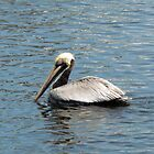 Pelican Out For A Swim by Cynthia48