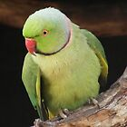 Indian Ringneck / Rose-Ringed Parakeet by Esther's Art and Photography