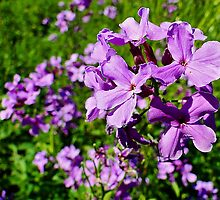 Dame's Rocket - Hesperis matronalis by Digitalbcon