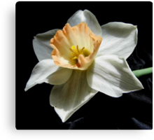 Daffodil and  Black Satin Canvas Print