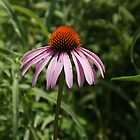 Cone Flower by Renee Ellis