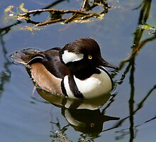 Hooded Merganser by John Absher