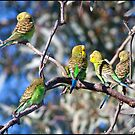 Australian Budgies by Anna Ryan