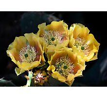Blind Prickly Pear - Opuntia rufida Photographic Print