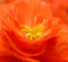 Begonia fire by mooksool