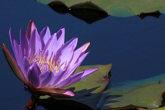 Tina Water Lily by Robert Armendariz