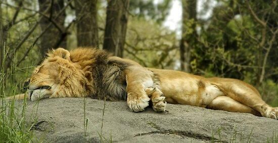 Lazy Lion by Alexander Garcia