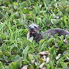 North American River Otter by kathy s gillentine