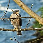 Sparrowhawk by VoluntaryRanger