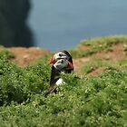 Pair of Puffins by AeronJohn