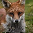 Young Fox by AeronJohn