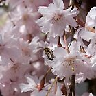 Weeping Cherry by lighthousegrphx