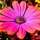 """Bright Pink Daisy"" by AlexandraZloto"