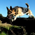 German Shepherd Jumping (Twist) by TesniJade