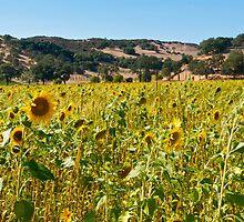 Saracina Sunflowers by Melodee Scofield