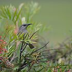 Brown Honeyeater by TheaShutterbug