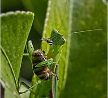 Munching Mantis by Barb Leopold