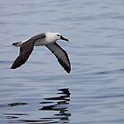 Yellow-nosed Albatross flying low by Canbies