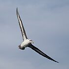 Shy Albatross in flight by Canbies