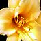 Yellow Day Lily by Rosemary Sobiera