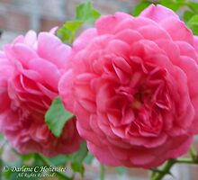 Christopher Marlowe English Rose by Darlene Callahan Hohensee