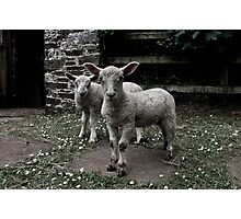 Sheep in Black and White Photographic Print