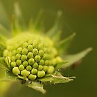 Ready to blossom by jamesnortondslr