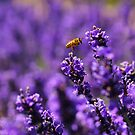 Wasp amongst the lavender by jamesnortondslr