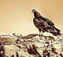 Turkey Vulture by Diego  Re