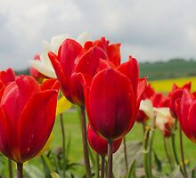 Tip to thru the Tulips by JEZ22