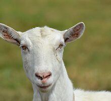 Goat by TheaShutterbug