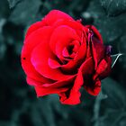 Red Rose by Omar Dakhane