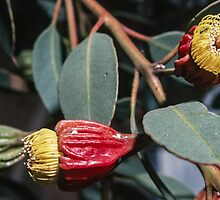 Ants exploring opened yellow gum buds Port Augusta South Australia 1982 09080028  by Fred Mitchell