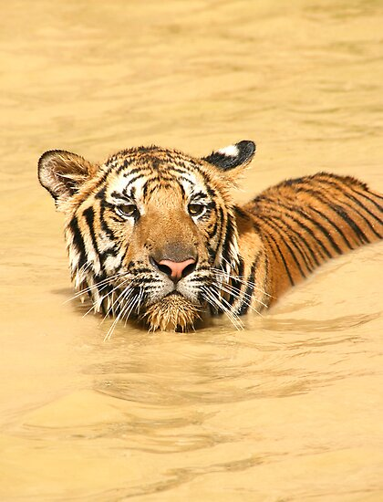 Swimming Bengal Tiger by Carole-Anne