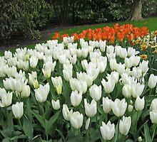 Pristine Tulips - Keukenhof Gardens by kathrynsgallery