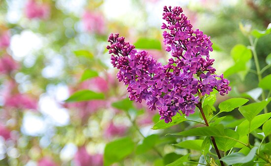 Branch of lilac flowers by torishaa