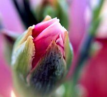Darling Buds of May (Macro) by David Alexander Elder