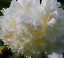 Backyard Peony  by ctheworld