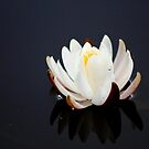 *White Lily Reflection* by Darlene Lankford Honeycutt