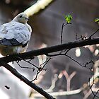 Pied Imperial Pigeon by Bekah Reist