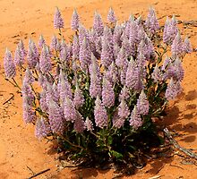 Mulla Mulla Plant in the Mallee at Mungo by Carole-Anne