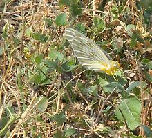 A Yellow White Butterfly? by Navigator
